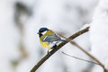 Great tit on a branch Royalty Free Stock Photo