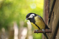 Great tit with caterpillar Royalty Free Stock Photography