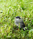 Great Tit chick Stock Image
