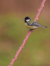 Great Tit on a Dog Rose branch Stock Image