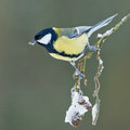 Great tit european on a snowy branch Stock Images