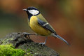 Great tit on a mossy trunk Stock Photos