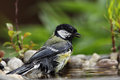 Great tit parus major bathing in a bird bath Royalty Free Stock Images