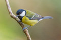 Great tit parus major on a branch shallow depth of field and bakground blurred Royalty Free Stock Images