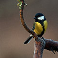 The great tit, Parus major on old frozen branch Royalty Free Stock Photo