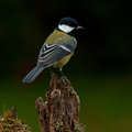 The great tit, Parus major on old stump Royalty Free Stock Photo