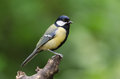Great tit the parus major is a passerine bird in the family paridae Stock Photography