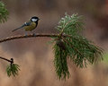 Great tit Parus major on a pine branch Royalty Free Stock Photo