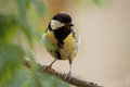 Great tit (Parus major) Royalty Free Stock Photo