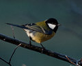 The great tit, Parus major Royalty Free Stock Photo
