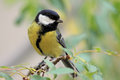 Great tit (Parus major). Royalty Free Stock Photo