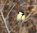 Great tit perched on a branch Stock Photos