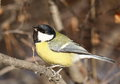 Great tit perched on a branch Royalty Free Stock Photo