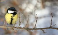 Great tit perched on a branch close up Royalty Free Stock Photography
