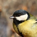 Great tit perched on a branch close up Stock Image