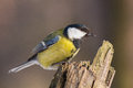 Great tit perched on tree stub closeup image of parus major a in winter forest sunny day Royalty Free Stock Photos