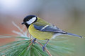 Great tit photo of standing on the branch Stock Photography