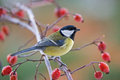 Great tit photo of standing on the branch Royalty Free Stock Photo
