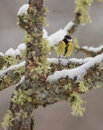 Great Tit with snow Royalty Free Stock Photo