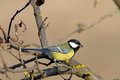 Great tit standing on tree parus major Royalty Free Stock Image