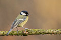 Great tit Royalty Free Stock Photo