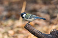 Great tits is more common birds which are larger than the average with a lot of its active and lively personality sound clear and Royalty Free Stock Image
