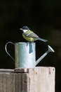 Great tits standing on a watering can, Vosges, France Royalty Free Stock Photo