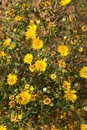 Great Valley Gumweed, Great Valley Gumplant Grindelia camporum, Grindelia robusta flowering, California Royalty Free Stock Photo