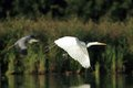 Great white egret ardea alba flying over the pond grey heron on the background Stock Images
