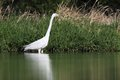 Great white egret ardea alba huntinf in the pond Stock Photos