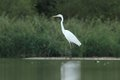 Great white egret ardea alba huntinf in the pond Royalty Free Stock Image