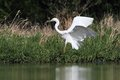 Great white egret ardea alba huntinf in the pond flying Royalty Free Stock Image