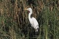 Great white egret ardea alba huntinf in the pond flying Royalty Free Stock Photos