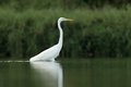 Great white egret ardea alba hunting in the pond Royalty Free Stock Images