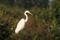 Great white egret ardea alba hunting in the pond Royalty Free Stock Photography