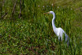 A great white egret ardea alba out hunting for a meal at brazos bend texas among the reeds and water plants on acre lake Royalty Free Stock Photography