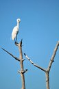 Great white egret bird on top of tree preening also known as or common standing a dead and its feathers in a south Royalty Free Stock Image