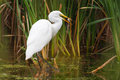 Great white egret catching fish a large Stock Photos