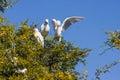 Great white egret couple egretta alba on nesting family Stock Photo