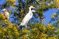 Great white egret couple egretta alba on nesting two Royalty Free Stock Photos