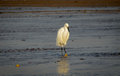 Great white egret dining in the morning at sun up dines as pacific tide goes out Stock Photography