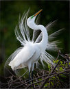Great White Egret Display Stock Photos