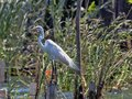 Great White Egret, Egretta alba, on Rio Dulce, Guatemala Royalty Free Stock Photo