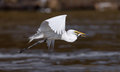 Great White Egret Flight With Fish Royalty Free Stock Photo