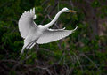 Great White Egret in Flight with Nesting Material Royalty Free Stock Photo