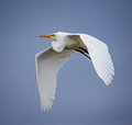 Great white egret in flight over blue sky Royalty Free Stock Photo
