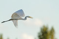 Great white egret in flight a was flushing at the fishponds making a lot of noise Royalty Free Stock Images