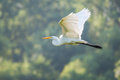Great White Egret Flying Royalty Free Stock Image
