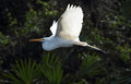 Great white egret flying against foliage of the rookery, Florida Royalty Free Stock Photo