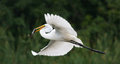 Great white egret flying with fish in it s mouth Stock Photo